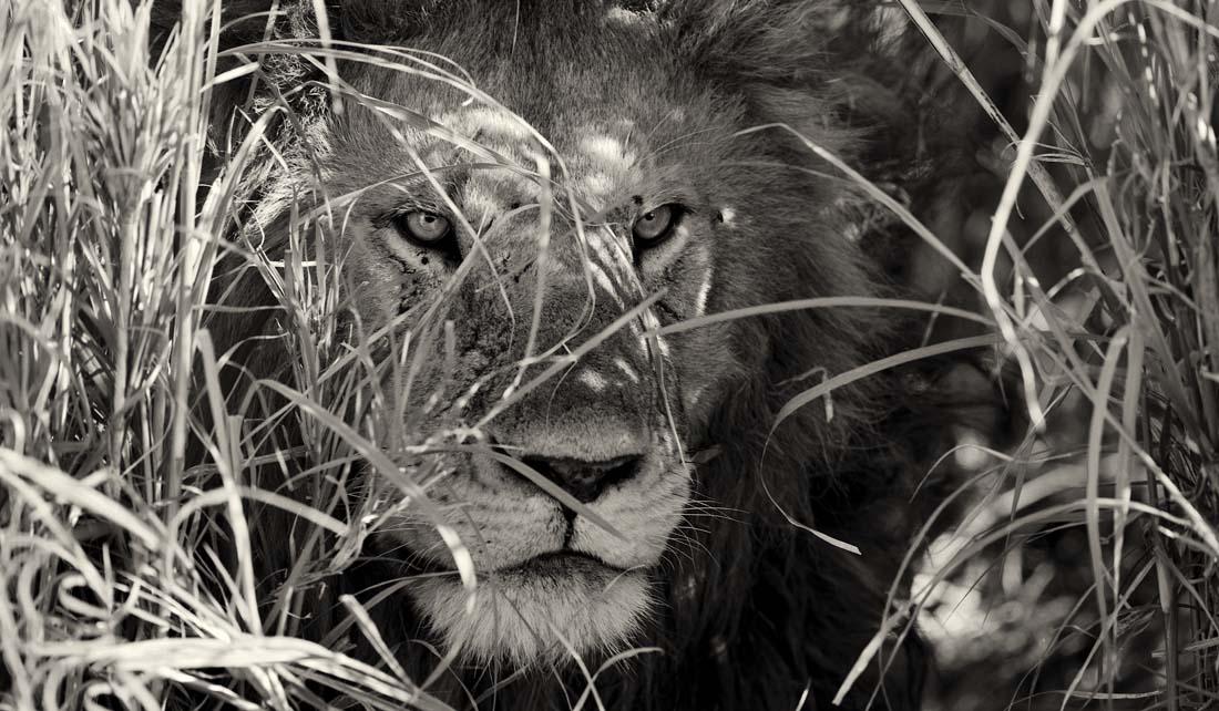 Трудно что можно сравнить со взглядом льва, имеющего серьезные намерения ... такой взгляд пробирает насквозь ...