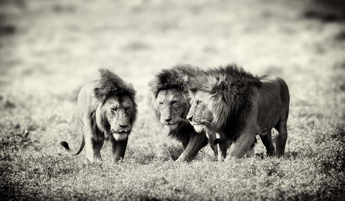 Иногда в саванне встречаются обьединения самцов-одиночек в группы. Будучи изгнанными из своих прайдов альфа-самцами, они бродят по саванне, охотясь и выживая вместе. Иногда это братья, а иногда совершенно не имеющие родственных связей животные.  При возникновении возможности они начинают новый прайд, когда встречают самок.