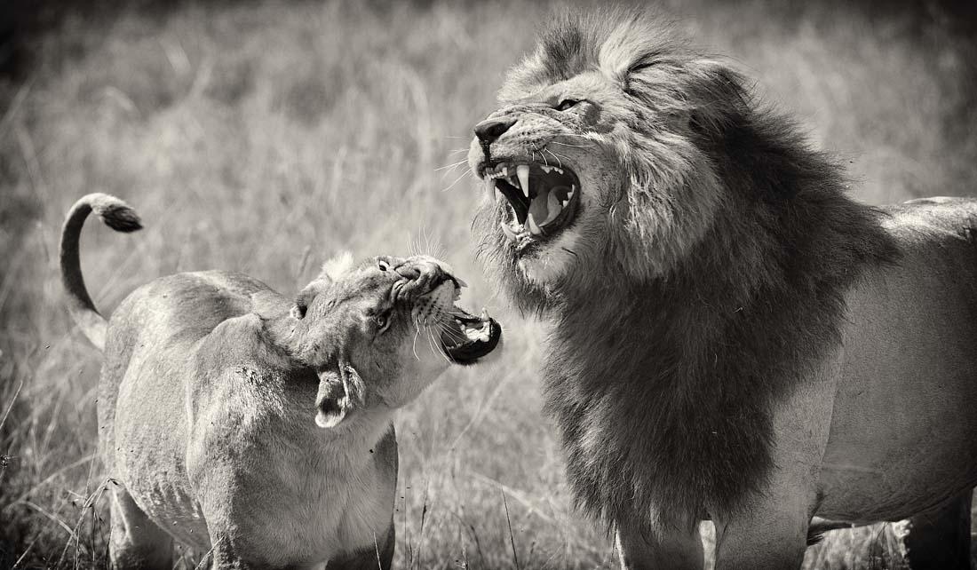 Порой в семьях бывают серьезные разногласия, но обычно лев все равно добивается того, чего хотел :-)