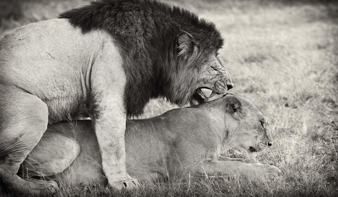 """Во время периода """"любви"""" лев и избранная из гарема и готовая к этому львица уходят из прайда на несколько дней и пара придается исполнению своих брачных обязанностней с периодичностью примерно раз каждые полчаса."""