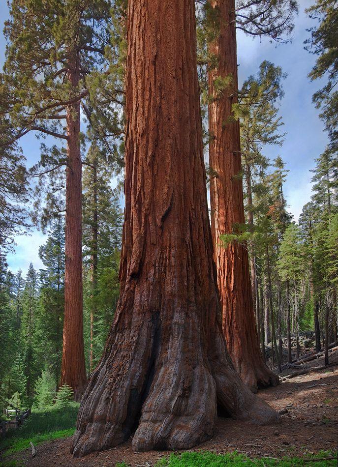 2.В парке расположены три рощи древних деревьев секвойядендрон