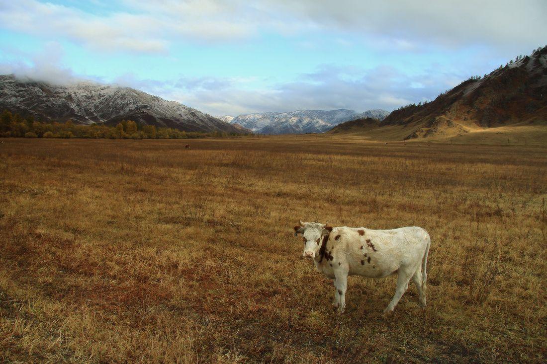 Корова с грустными глазами (