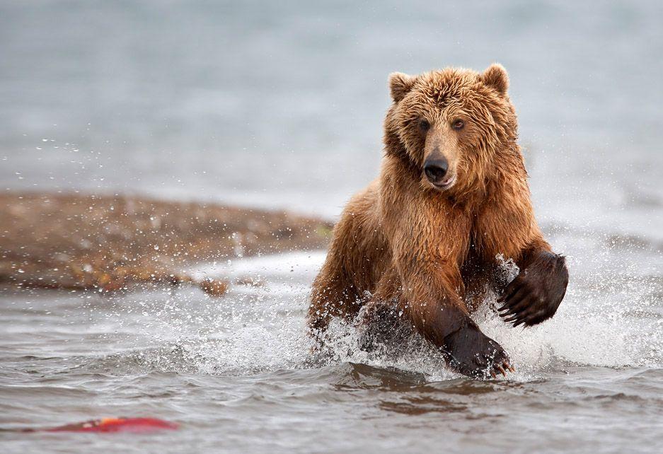 Заприметив нерку в воде медведица переносит центр тяжести на задние лапы, готовясь к прыжку: