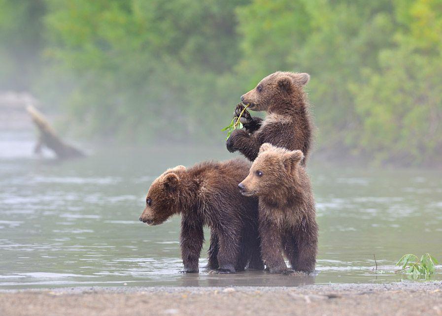"""В то время как мамаша добывает пропитание себе и малышам,  последние не теряя времени внимательно наблюдают за ней, ведь им нужно также со временем овладеть искусством рыболовства.    Очень сопереживают, иногда ревут: """"Давай мамка, давай лови нам рыбку!"""""""