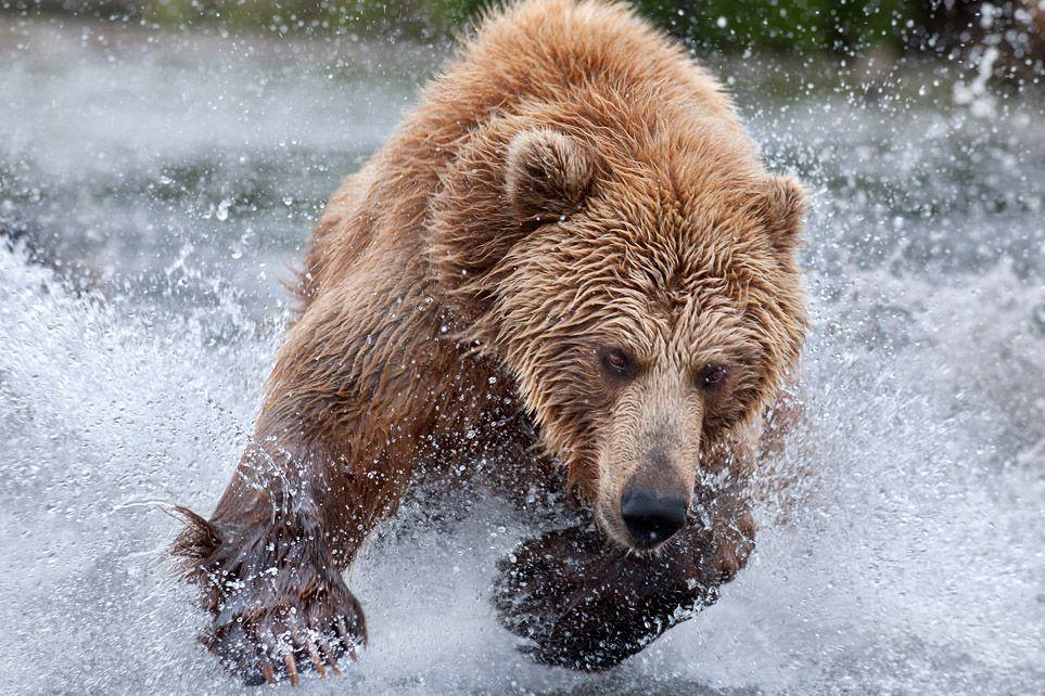 Блондинка старается изо всем сил, преследуя молниеносно перемещающуюся в воде нерку ! Прыжок за прыжком, вот она - рыбка! Совсем рядом! И снова она ускользает из лап Блондинки!