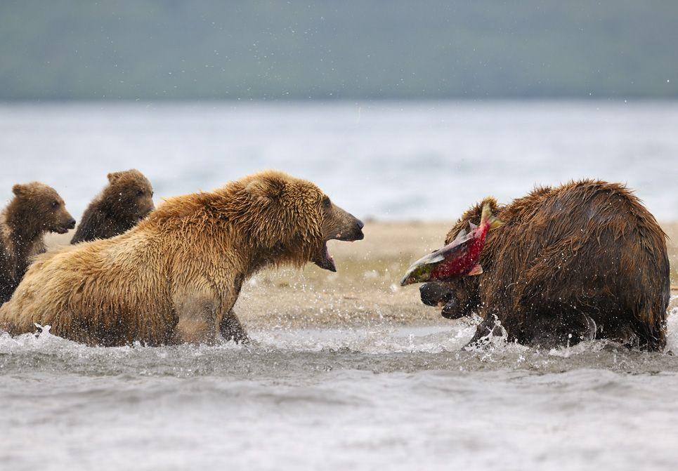 """Часто я был свидетелем того, как поймав рыбу Блондинка её теряла в результате наглого поведения других медведей. Некоторые из них прям таки специально выжидали, когда она после больших усилий поймает рыбу, подскакавали к ней и пытались выхватить улов. В результате возникали прямо скажу нешуточные конфликты. И в этот раз, заприметив пойманную рыбу к Блондинке бросился медведь, а та от неожиданности дёрнулась, раскрыла пасть и рыба выскользнула в воздух. """"Что же ты делаешь, паразит ! У меня ведь медвежата!"""" громко ревела Блондинка. Рыбу удалось отстоять, наглец ретировался."""