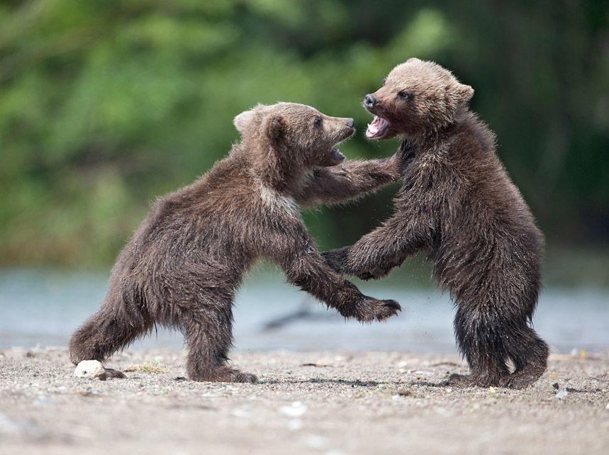 """Тихий час был совсем непродолжительным, т.к. сытые и счастливые медвежата конечно же затевали игру. Наблюдая за этой семьёй, я находил очень много общего в поведении медведей и людей. Материнские чувства: полная самоотдача, ласка, забота, беспокойство, которые демонстрировала Блондинка вызывали удивление и уважение. """"Хорошая мать"""" - непроизвольно вырывалось у меня много раз.  Очень-очень надеюсь, что они хорошо пережили эту зиму и снова прийдут на Курильское этим летом."""