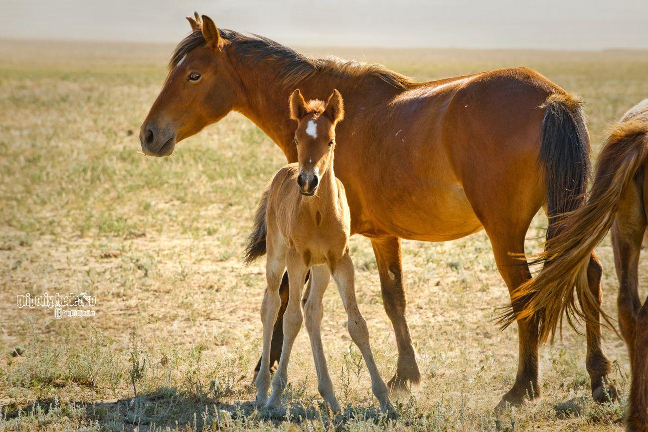 Лошади на протяжении почти всего года пасутся самостоятельно, поэтому стали  практически дикими.