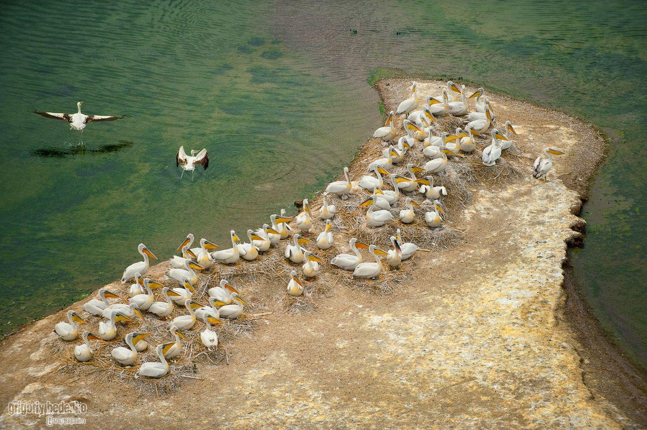 Вот так пеликаны выводят потомство.