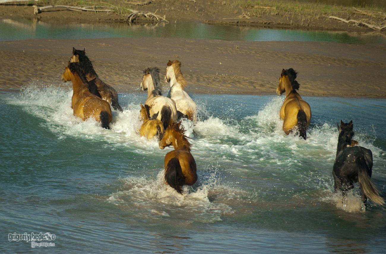 В жаркие дни косяки лошадей стараются держаться ближе к воде.
