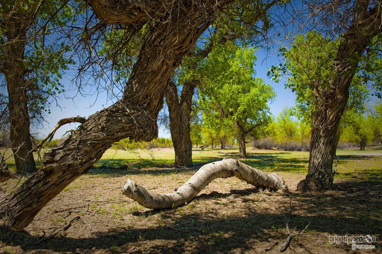 """Роща реликтового туранского тополя, или как его здесь называют """"туранга"""" (лат.Populus diversifolia). Это уникальное дерево встречается только в отдельных степных регионах Средней Азии. Считается, что туранга - одно из немногих растений, которое пережило последний ледниковый период."""