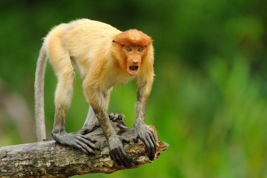 Борнео, Сепилок, мангровые леса