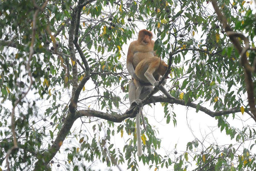 Борнео, р.Кинабатанган, спаривание