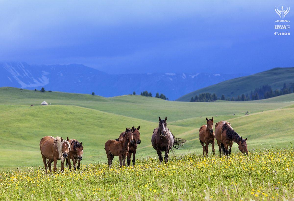 в то время как внизу в степи трава уже высохла и животным приходиться нелегко, здесь на горных пастбищах лошади будут питаться сочной травой весь сезон, до октября
