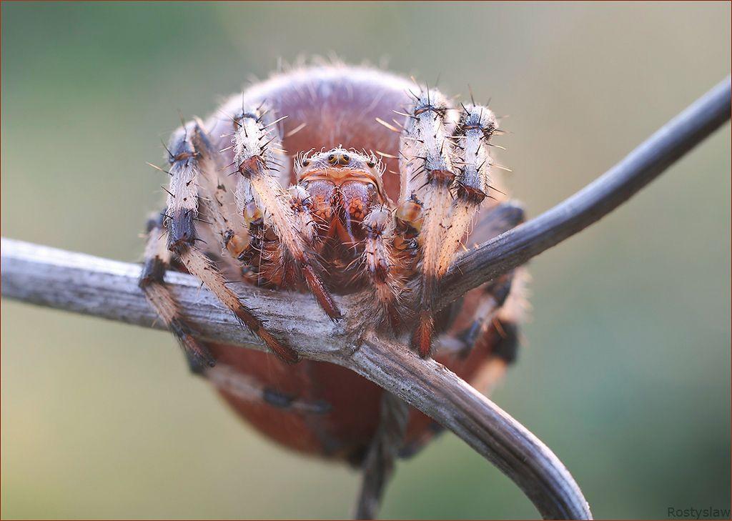 укус паука крестовика. фото