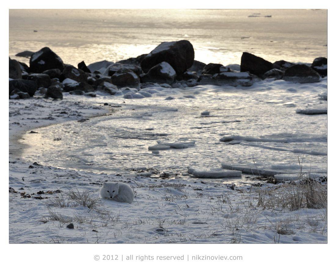 Арктика – одно из наиболее трудных мест для жизни на Земле и кому довелось там бывать - наверняка подтвердят этот факт.  Ледяная пустыня в прямом смысле этого слова позволяет выживать лишь тем, кто готов приспосабливаться к её невыносимым условиям.  Все живое здесь нацелено на сохранение сил и энергии.