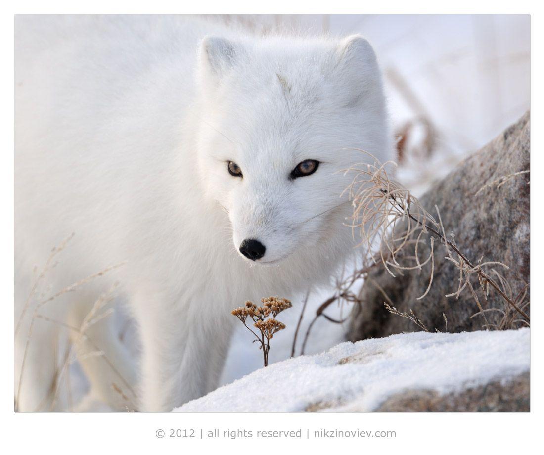 Одним из наиболее интересных представителей мира диких животных, которые обитают в этих условиях, является песец.