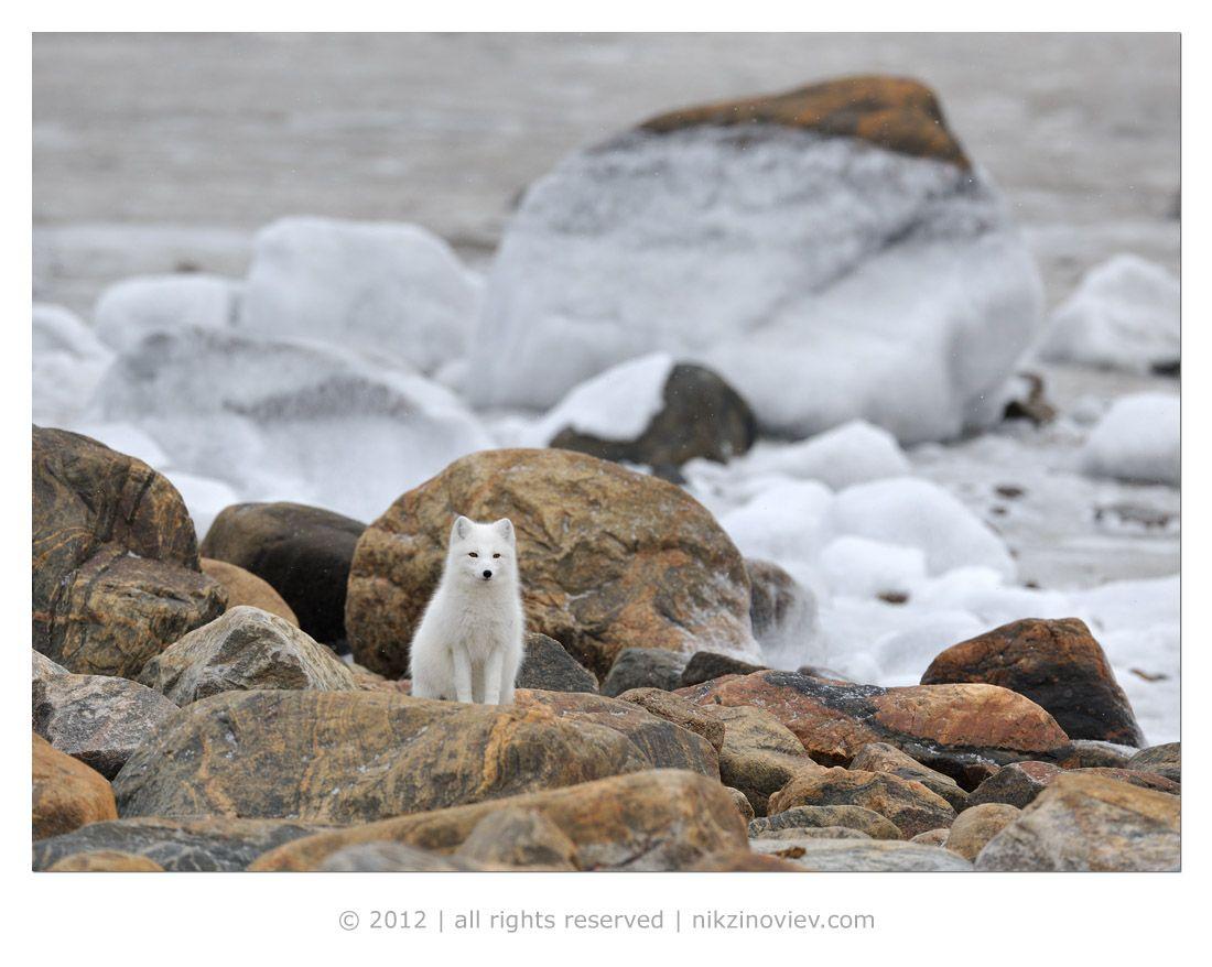 Зверь этот проживает на побережье и островах Северного Ледовитого океана в пределах полукилометра от берега, где он устраивает норы в мягком грунтеили между прибрежными камнями. Норы существуют многие годы и используются поколениями песцов.