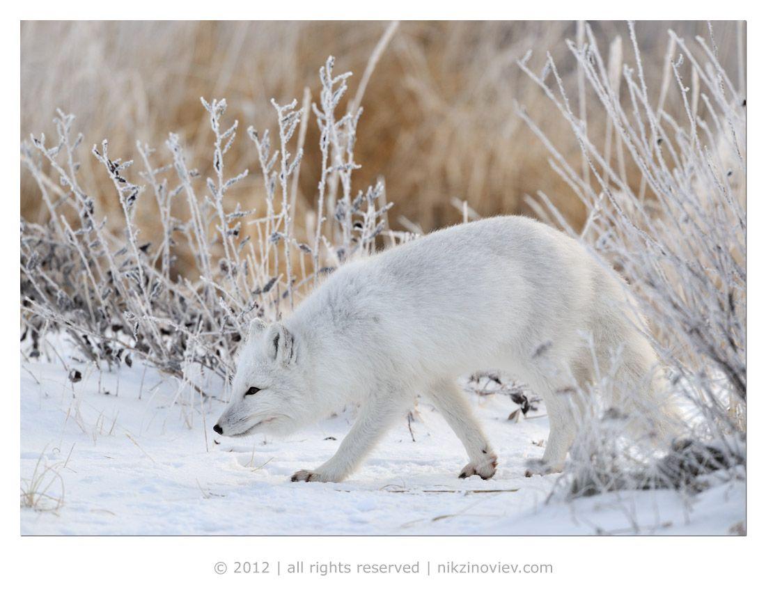 Выживает зверёк при экстремально низких температурах за счет плотного слоя шерсти, покрывающего его тело и даже ступни лап, что позволяет ему  без труда перемещаться по снегу и льду.