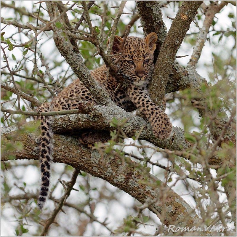 Этот котенок хорошо спрятался в густых ветках дерева неподалеку от дерева, на котором расположилась его мама, недавно сытно откушавшая газелью.