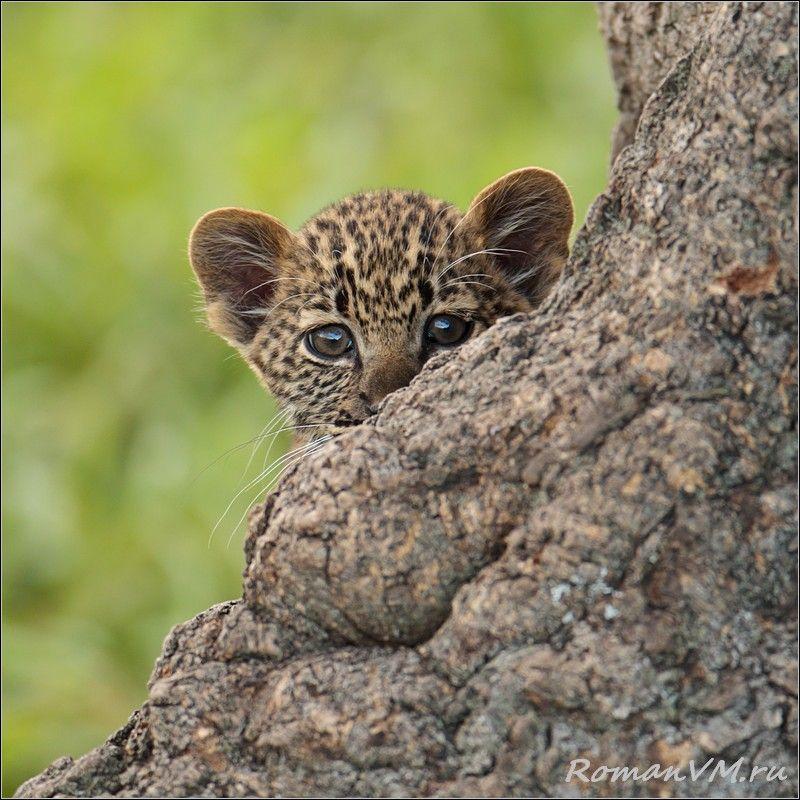 На рядом с мамой на дереве в засаде сидела его сетсренка, которая ревностно оберегала подступы к материнскому молоку.