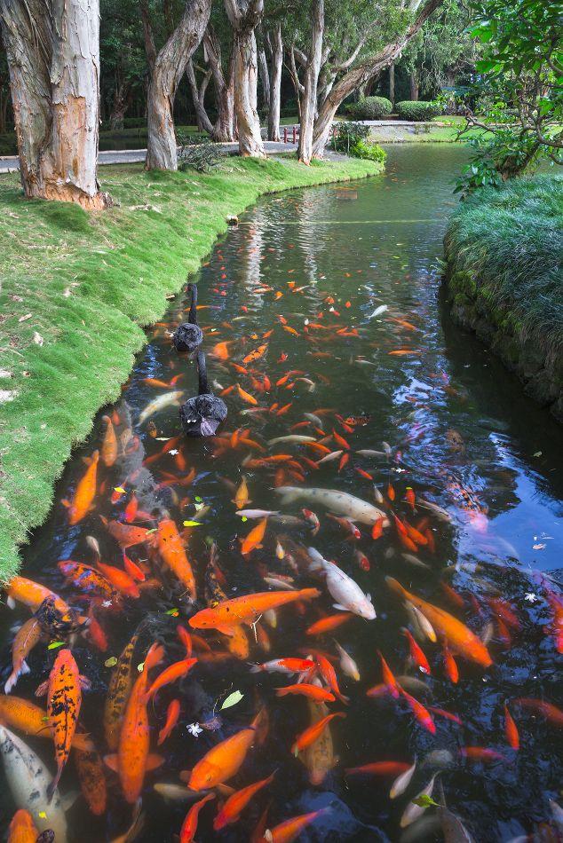 8. Бёдо-ин окружает красивый парк, с прудами, в которых плавают довольно-таки упитанные японские карпы.