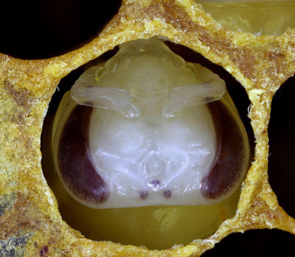 Это личинки пчёл перед запечатыванием ячейки воском. Они уже имеют зачатки глаз и усики. Но им ещё предстоит развитие в стадии куколки под восковой крышкой.