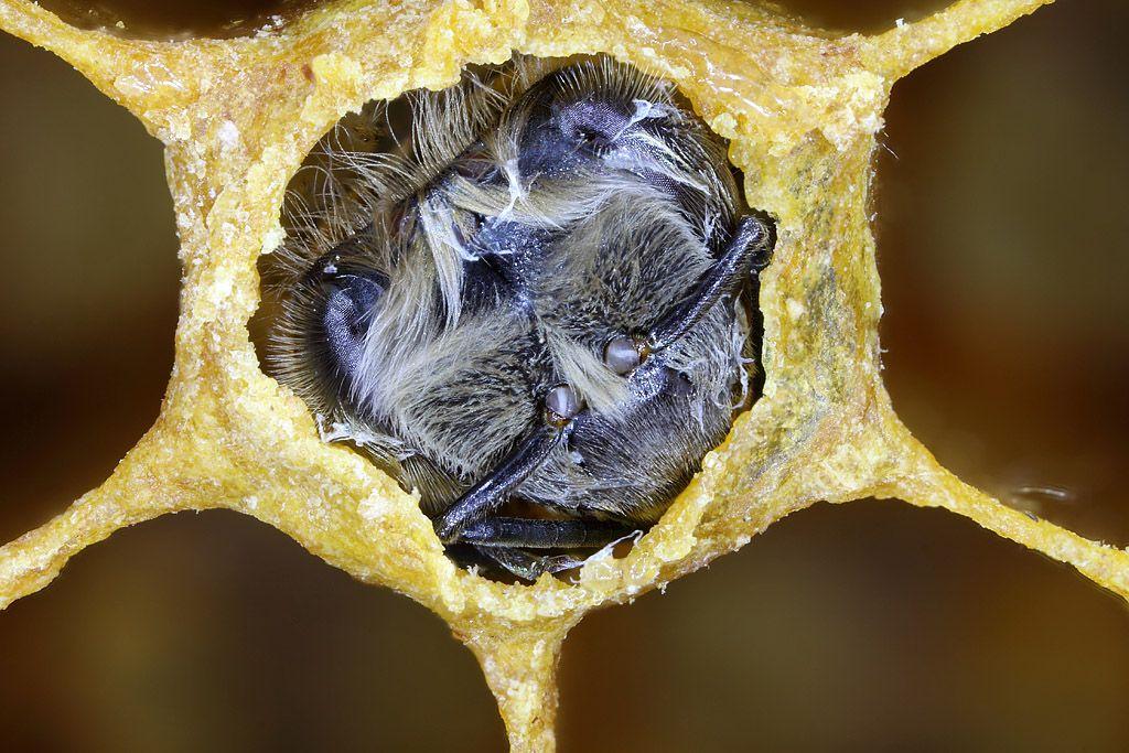 Прошло время и из ячейки выходит сформировавшаяся пчела. Весь цикл занял 21 день. Сейчас она уже сама разгрызла крышечку и вот вот выйдет на соты. А через несколько часов она уже будет работать в качестве кормилицы - кормить других личинок.