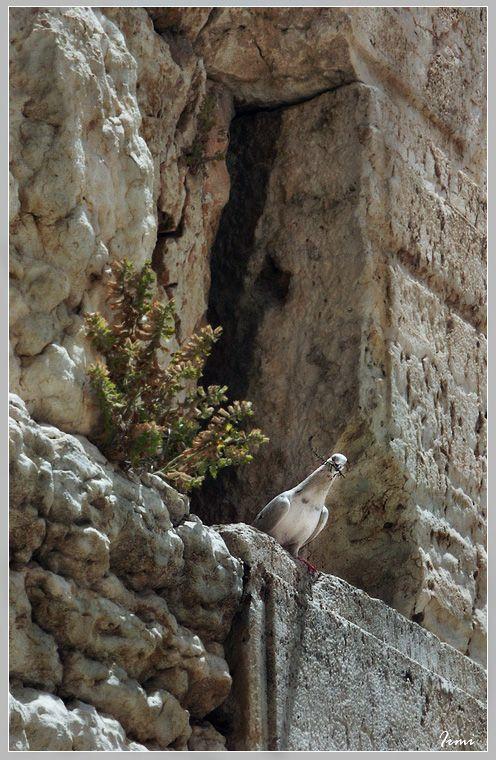 Голубь, который живёт прямо в Стене!