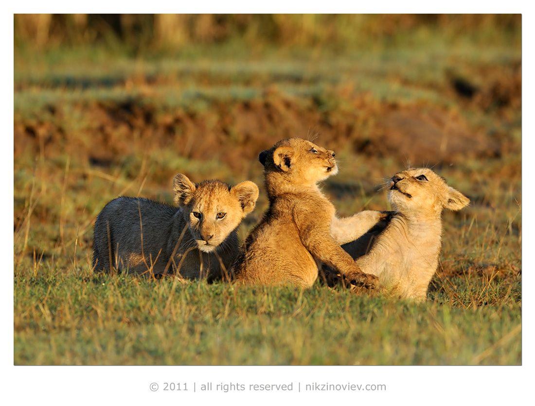 """Обе няньки проявляли ласку и заботу о львятах, видно копируя своих мам. Пройдет какое-то время и они тоже станут мамами, но к тому времени у них уже будет какой-то опыт воспитательной работы с малышами.Самые маленькие львятя мяукали (читать """"рычали""""), но не находили свою мамку и поэтому прижимались к старшим сёстрам.Малыши 5-6 месяцев от роду очень активны и долго не могут сидеть на месте! Стоит одному из них толкнуть другого или укусить слегка - как тут же начинается игра, перерастающая в легкую потасовку."""