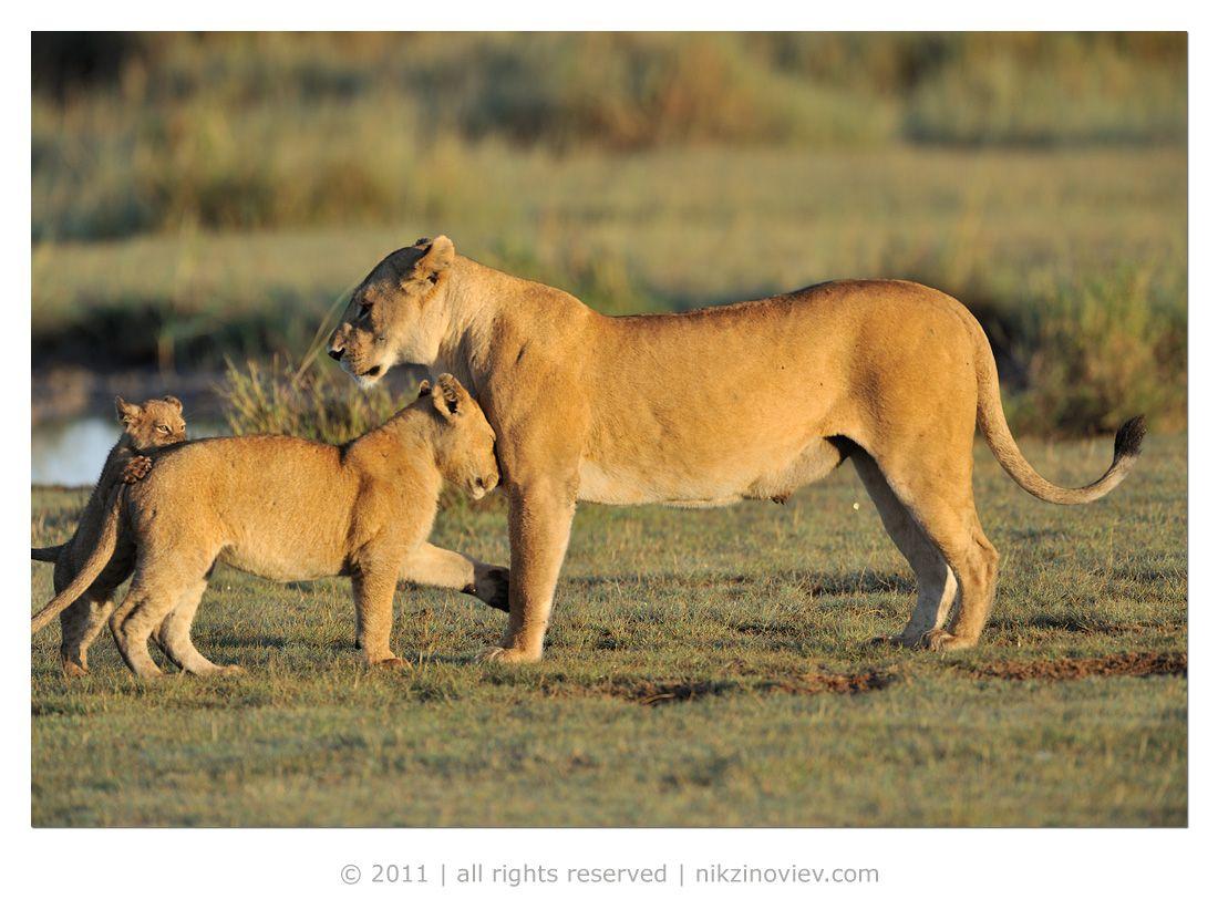 Первыми львиц встретили няньки, приветствовали и наверное жаловались им на сорванцов!