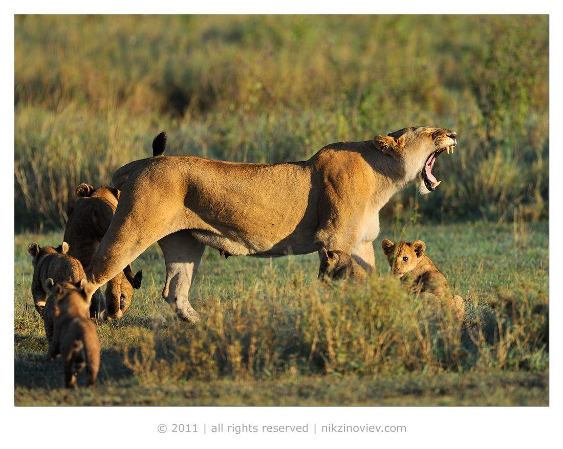 У львиц была тяжелая ночь, охота действительно оказалась неуспешной ...