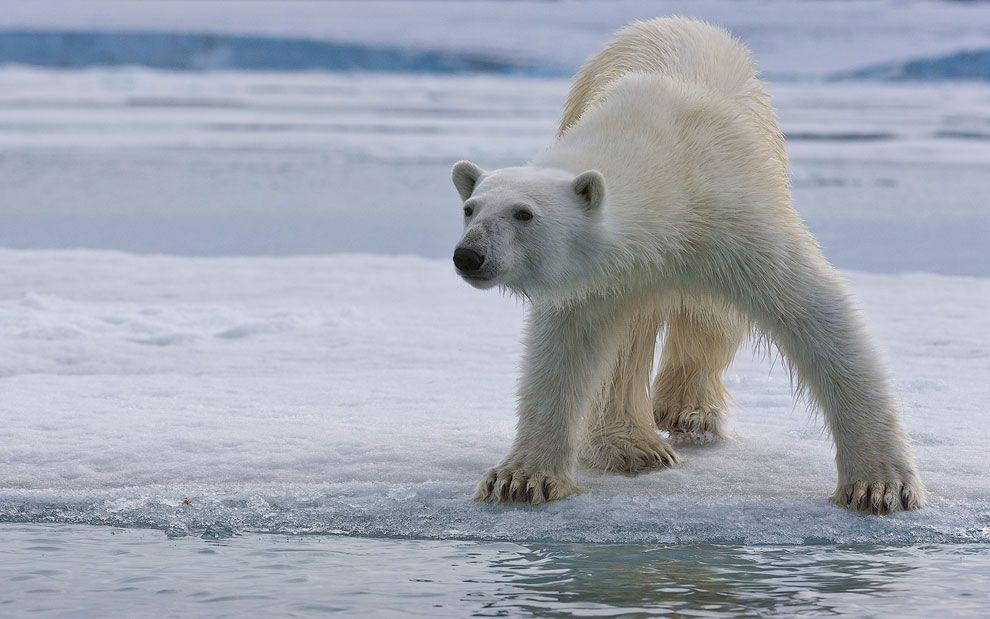 Белый медведь, одно из немногих животных, воспринимающих человека, как добычу. При скорости спринта 60км/час и шестиметровом прыжке, взрослый медведь представляет для человека ральную угрозу. Особенно если этот медведь голоден. Отсутствие мимических мышц делает медведя особенно опасным и непредсказуемым.