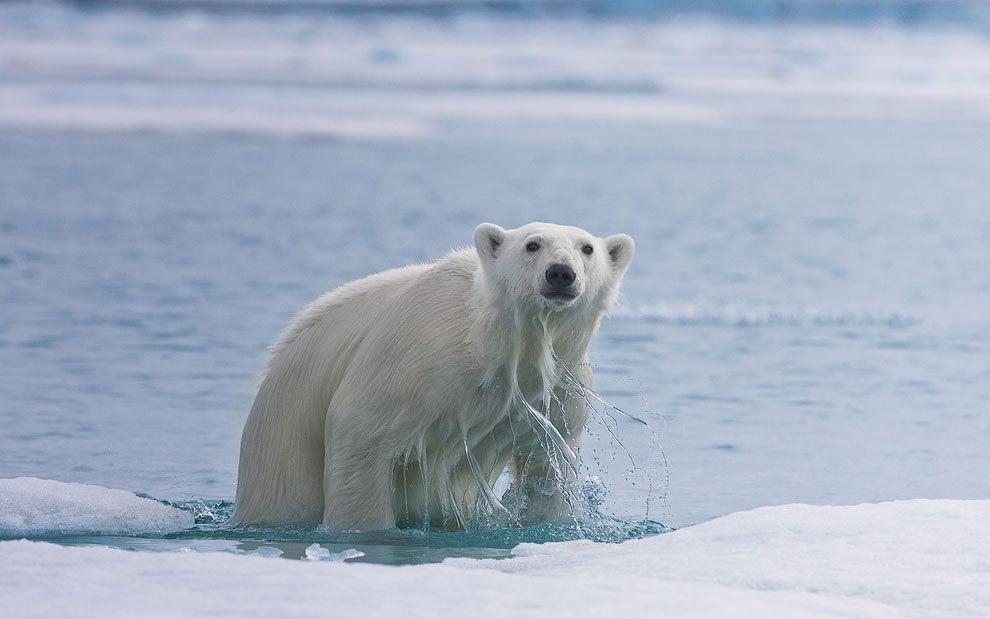 Несмотря на то, что медведи отличные пловцы с моторкой они конечно тягаться не могут. После довольно агрессивной игры в кошки мышки с двумя зодиаками, медведь выбрался на льдину, у противоположной стороны которой стояла в этот момент наша лодка.
