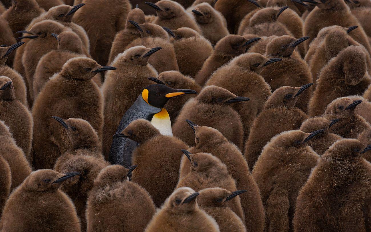 """Королевский пингвин – второй по величине (после императорского) вид пингвина и один из самых ярко окрашенных. Гордая осанка, сочетание белого, желтого и черного оперения вполне оправдывают королевский титул, присвоенный этим птицам. Одна из самых больших по численности колоний Королевских Пингвинов находится в Бухте святого Андрея на Острове Южная Георгия. Именно на St. Andrews Bay вечером теплого весеннего дня и была снята эта фотография. Птенцы, собранные в мнготысячные """"ясли"""" терпеливо ждут родителей, которые появляются раз в две недели, что-бы их покормить. Находят родители и дети друг-друга по голосу."""