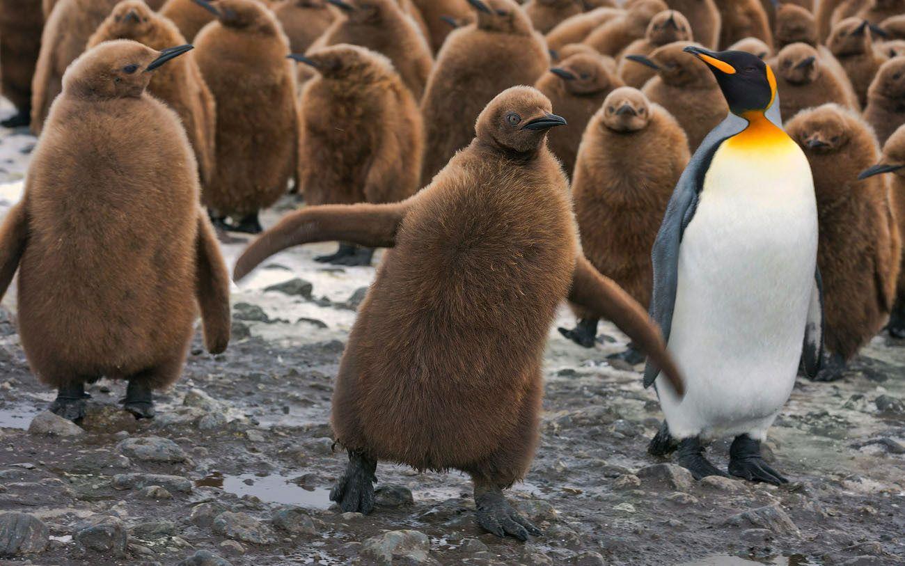 """ЭТО МОЯ МАМА!!! При приближении очередного взрослого пингвина к """"яслям"""" птенцы часто проявляют повышенную активность, кричат и всячески стараются привлечь к себе вномание. Через 12 месяцев прожорливые птенцы могут быть даже тяжелее своих родителей."""