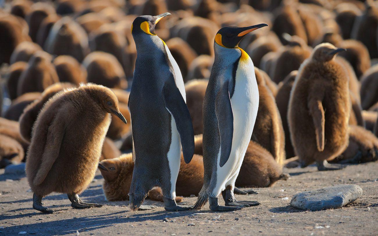 СИРОТА. В жизни все  часто бывает не так смешно, как на фото. Чужих птенцов пингвины как правило не кормят, и птенец, у которого погибли родители обычно тоже погибает.