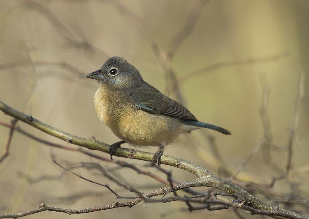 """Описывая новый вид птиц, он сделал такую пометку: """"Нет ничего прекраснее на свете двух существ - моей жены и этой птицы"""" и назвал птицу в её честь. По латыни она так и есть до сих пор - пассерина Розиты"""