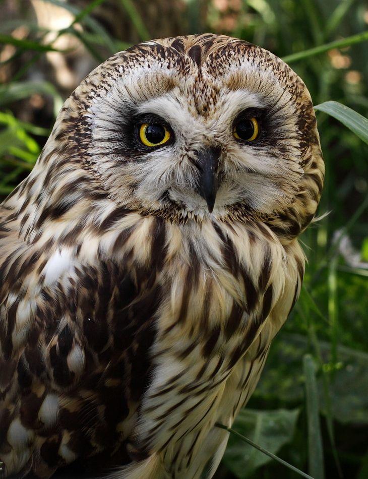 СОВА БОЛОТНАЯ   (Asio flammeus) имеет общую длину 34—42 см, при размахе крыльев 85—110 см, длине крыла 28—34 см, весит 320—430 г. Самки крупнее самцов. Ушки короткие. Оба пола окрашены одинаково. У взрослых птиц спинная сторона охристая или рыжеватая с бурым продольным рисунком, маховые и рулевые с бурым поперечным рисунком. Брюшная сторона охристая, рыжеватая или беловатая с бурыми продольными пятнами. Радужина желтая, клюв и когти черные. Распространена болотная сова в Европе от тундр до Средиземноморья; в Северной Азии от тундровой полосы на севере на восток до Камчатки, Сахалина, на юг до Палестины, Ирака, Средней Азии и Монголии; в Америке от севера Аляски и реки Маккензи до островов Карибского моря, Бразилии, Боливии, Перу, встречается на Галапагосских, Каролинских и Гавайских островах. В северных частях области распространения болотная сова перелетная, в остальных перелетная и кочующая птица. Населяет открытые пространства, тундру, культурный ландшафт, степи. Обитает на равнинах, но местами (Алтай, Кавказ) поднимается до высоты 2300 м. Сроки размножения варьируют в зависимости от широты местности. В России откладка яиц на юге происходит около середины апреля, в Сибири — в начале мая и даже позднее. Болотная сова, в отличие от большинства других сов, строит собственное несложное гнездо, расположенное на земле. Число яиц в кладке сильно варьирует, по-видимому, в зависимости от кормовых условий. В кладке обычно 3—5 яиц, но в «мышиные» годы число их возрастает до 7 и даже 10. В исключительно благоприятные по «урожаю» мышей годы имеются вторые кладки, даже поздней осенью и зимой. Насиживает самка, начиная с откладки первого яйца, поэтому птенцы в выводке разновозрастны. Продолжительность насиживания 24— 30 дней. Из гнезда птенцы выходят еще нелетными, но в месячном возрасте становятся на крыло. Болотная сова в основном кормится грызунами, остальные корма — птицы, насекомые — имеют в ее питании второстепенное значение. Болотная сова не строго ночная птица, она акти