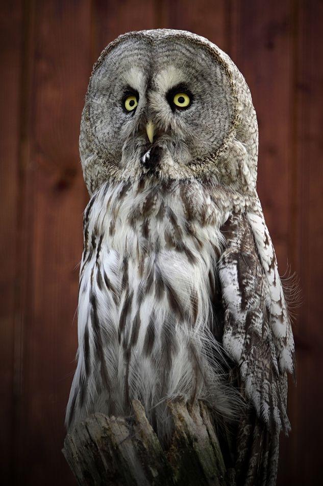 НЕЯСЫТЬ БОРОДАТАЯ (Strix nebulosa) самый крупный вид из встречающихся в России неясытей (и самая большая неясыть вообще). Это длиннохвостая и длиннокрылая птица, общая длина ее 63—66 см, размах крыльев 130—140 см, длина крыла 41—48 см, вес 700—1200 г. Самки, как обычно у сов, крупнее самцов. Спинная сторона взрослых самок и самцов серовато-бурая с густым продольным и поперечным рисунком, охристо-беловатым и темно-бурым; правильный светлый и темный поперечный рисунок на темени, затылке, задней стороне шеи; маховые темно-бурые с охристым поперечным рисунком в основной части пера; рулевые темно-бурые с неправильным светлым поперечным рисунком; лицевой диск сероватый с черными концентрическими полосками и черным пятном у глаза; по горлу идет черная продольная полоса. Брюшная сторона беловатая с бледно-бурым продольным рисунком и мелкими буроватыми крапинками. Радужина ярко-желтая, клюв желтый, когти бурые. Птица северных хвойных лесов восточного и западного полушарий. В Северной Америке распространена от средних частей Аляски, Маккензи, Квебека, на юг до севера Британской Колумбии, провинций Альберта и Манитоба, Онтарио, гор Сьерра-Невада, штата Айдахо, запада штата Монтана и Калифорнии, в Европе— на севере Скандинавии. В бывшем СССР распространена от северной окраины тайги, на юг до Литвы, Белоруссии, Ярославской области, на Среднем Урале; в Сибири на юг до Тюмени, Тары, Алтая, Забайкалья, Приамурья, Сахалина. В Азии встречается в горах северных частей Монголии. Оседлая и кочующая птица, кочевки связаны с неблагоприятными кормовыми условиями. Бородатая неясыть использует старые гнезда других птиц, быть может, строит и собственное гнездо, чаще на вершинах сломанных деревьев, высоко от земли. Кладка отмечается в середине апреля — начале мая. Число яиц в кладке 3—5, чаще 4, иногда и одно, что зависит от «урожая» основных кормов. Поэтому бывают годы, когда бородатые неясыти и вовсе не приступают к размножению. Насиживает, по-видимому, только самка, насиживание начинается п