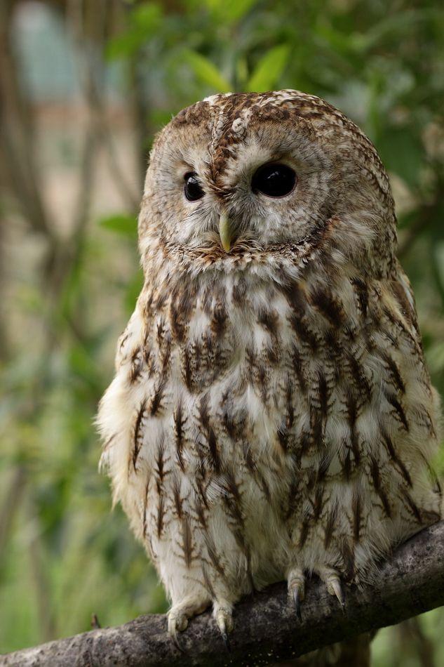 ДЛИННОХВОСТАЯ НЕЯСЫТЬ (Strix uralensis) Гнездовая область тянется в Европе от Скандинавии и Финляндии до Альп, Чехословакии и Балкан; в Азии гнездится в России (Якутия, Приморье, Сахалин), в Северной Монголии, Китае, Корее. Общая длина составляет 50-60 см, длина крыла 32-38 см, вес 700-1000 г. Это таежная птица, распространенная в хвойных лесах, как на равнинах, так и в горах. Гнездится в дуплах, но чаще в старых гнездах других птиц. Обычно в кладке 3-4 яйца. Питается грызунами, нападает на более крупную добычу (зайцы), большое место в питании занимают птицы (от тетерева, вороны и сороки до воробьиных).