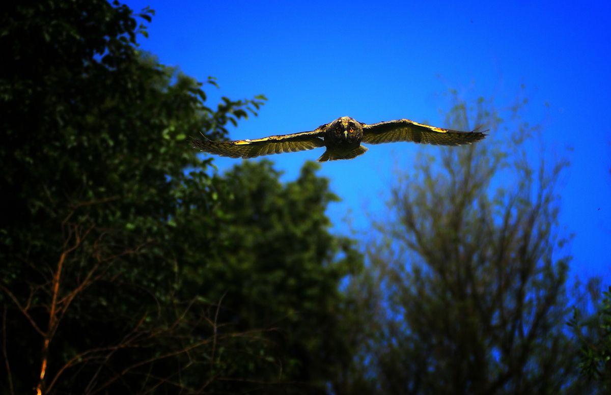 Болотная сова в полете