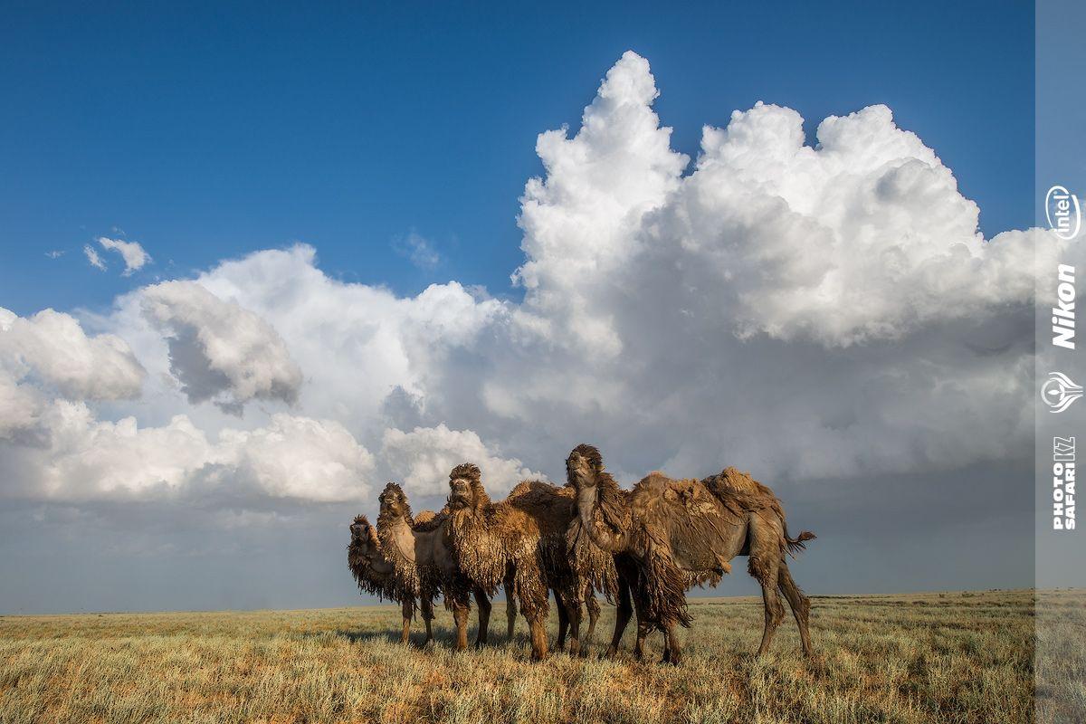 корабли пустыни. Только они чуствуют себя комфортно в крайне-суровом климате Западного Казахстана