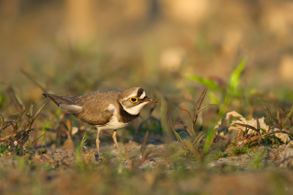 The Little Ringed Plover