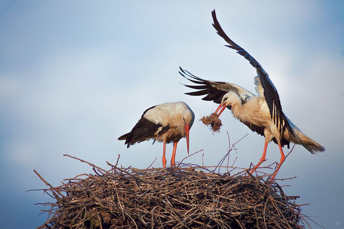 The stork's nest (parents)