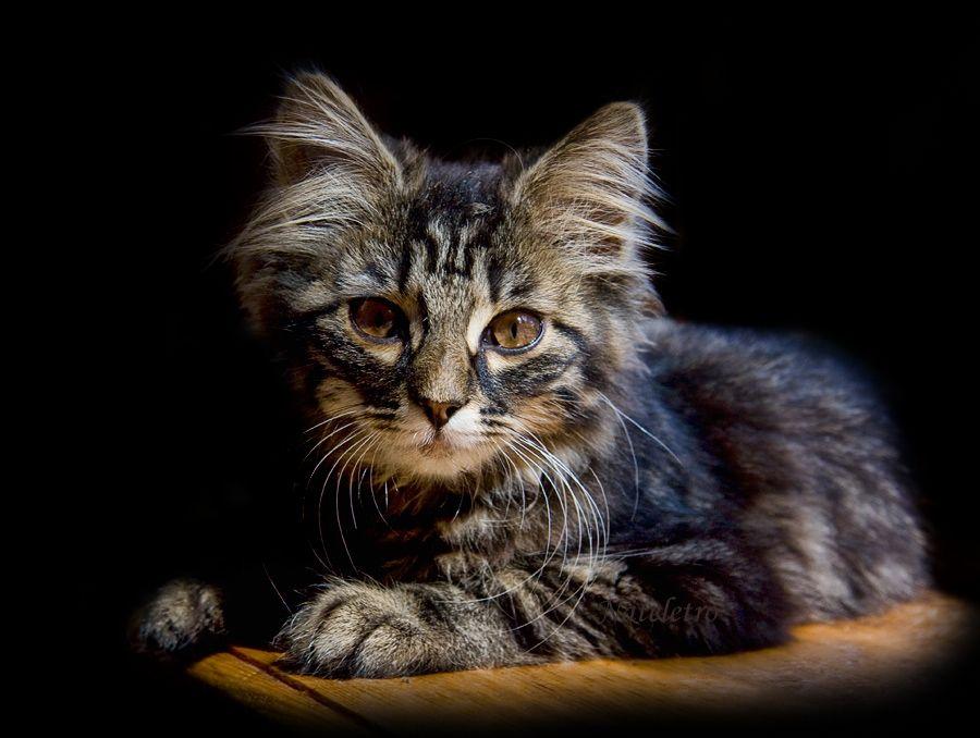 «Бог сотворил кошку для того, чтобы у человека был тигр, которого можно погладить» Виктор Гюго.