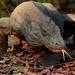 Комодский варан – самая крупная современная ящерица, весом около 70 кг и длиной около 3-х метров; наиболее крупные особи превышают в длину 3 метра и весят до 166 кг. Самые большие популяции комодского варана сосредоточены на трёх островах Малайского архипелага,- островах Ринча, Комодо и Флорес.