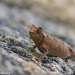 Ещё одна крохотная недавно открытая брукезия Brookesia brunoi тоже наземный хамелеон, окраской очень похожий на пожухлую листву. Почти всё время проводит на земле, где найти их крайне сложно...почти нереально, настолько они великолепно маскируются. Только когда животное начинает двигаться получается распознать его контур.