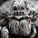 «Волчий характер» Этот паук — одиночка, живет в норках, паутину для ловли добычи не плетет, по ночам выбирается из норы и отправляется на охоту. Снято на территории Прибайкальского национального парка, о. Ольхон.