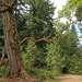 И полюбила = бесстыдница=  Ель-великана...) (или танец живота земляничного дерева...)))